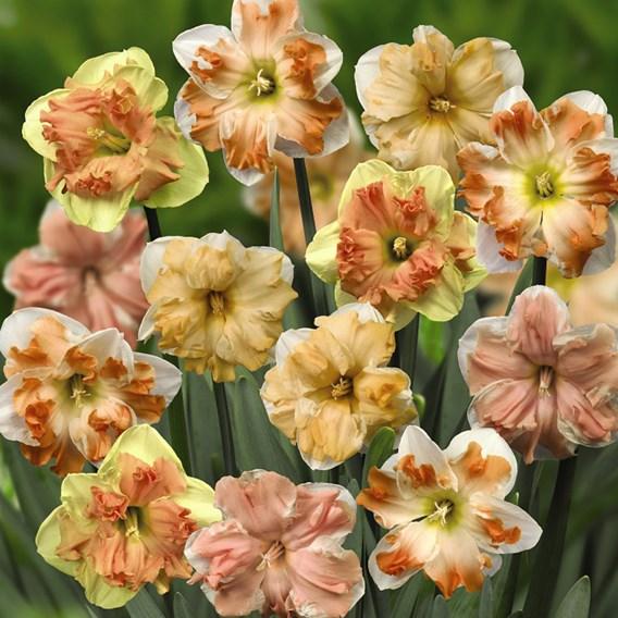 Daffodil Rainbow Butterflies Mixed