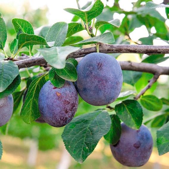 Fruit Plum Mini Tree Black Amber 9cm Pot x 1