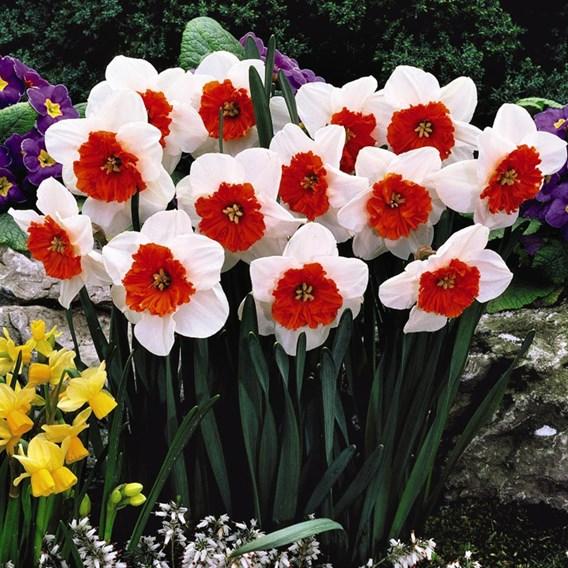 Daffodil Bella Vista