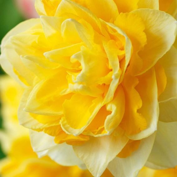 Daffodil Bulbs - Dick Wilden
