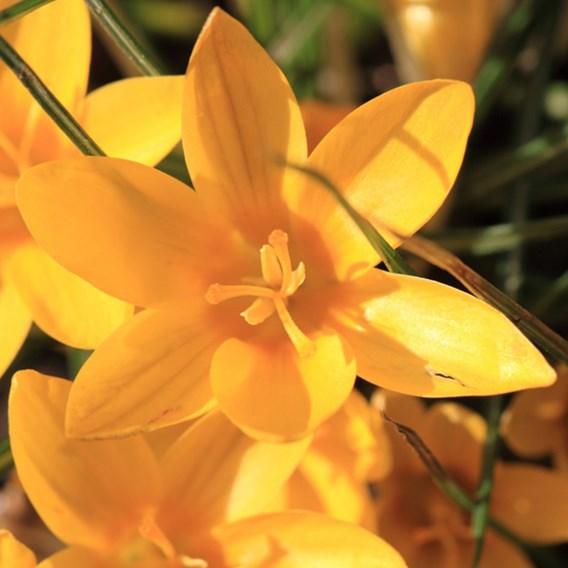 Crocus Dutch Yellow 40 Bulbs