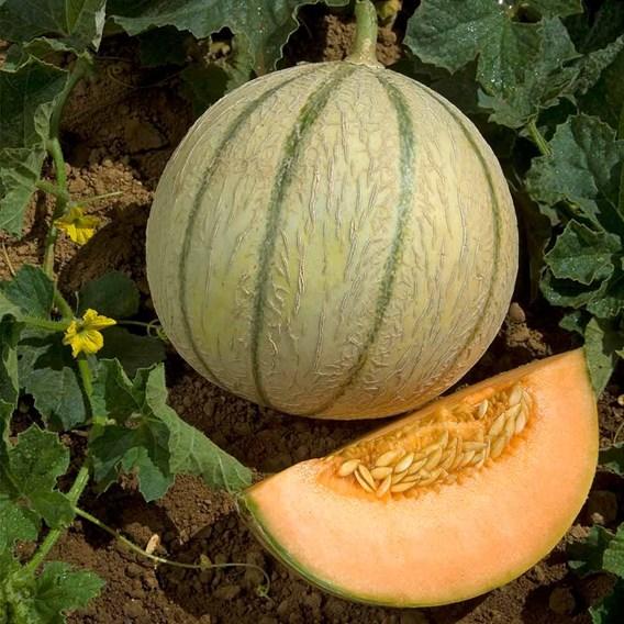 Melon Grafted Anasta (3)
