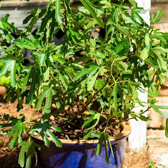 Ficus car. Little Miss Figgy