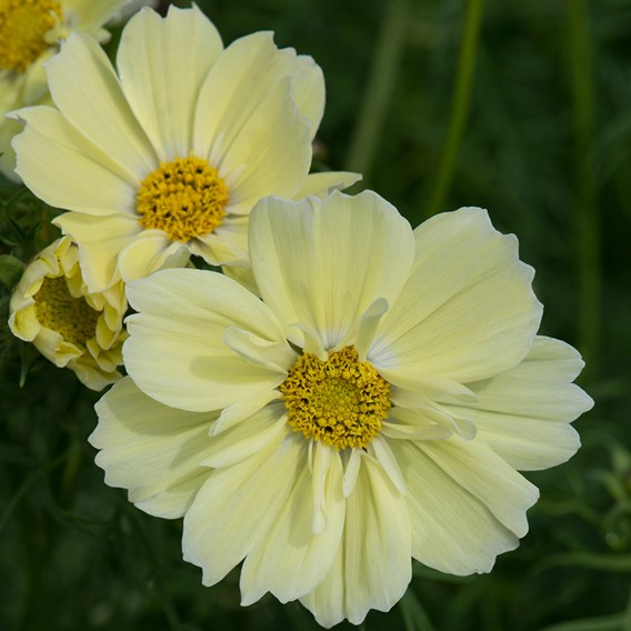 Cosmos Xanthos Lemon Sherbet (10)