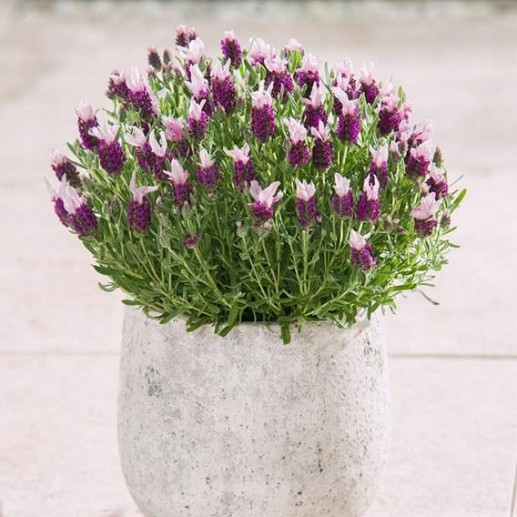 Lavender Bandera Pink (10)