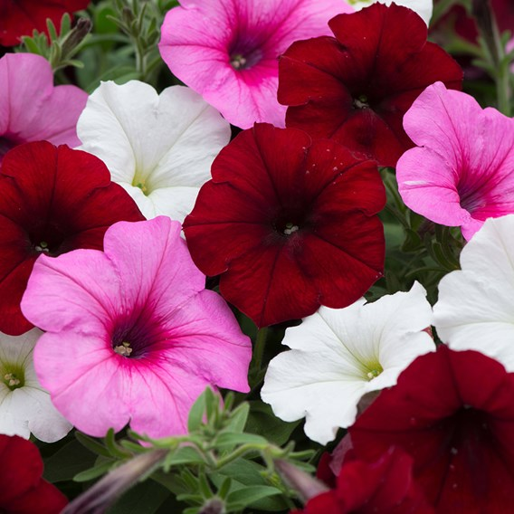 Petunia Plants - Sweetheart Mixed