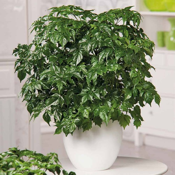 Houseplant Radermachera Sinica
