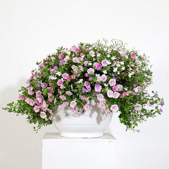 Trixi Romance 20 Plants