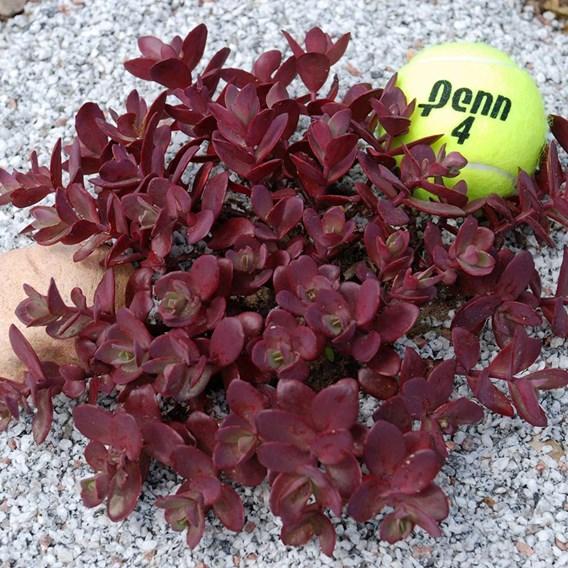 Sedum Plants -  Sunsparkler Cherry Tart