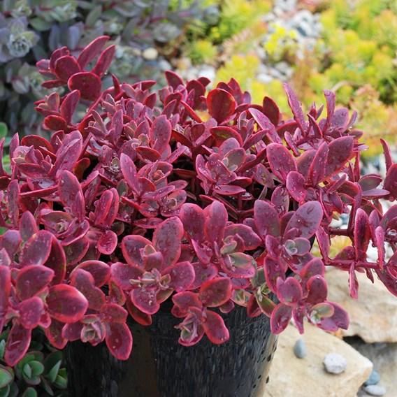 Sedum Plant - Sunsparkler Wildfire
