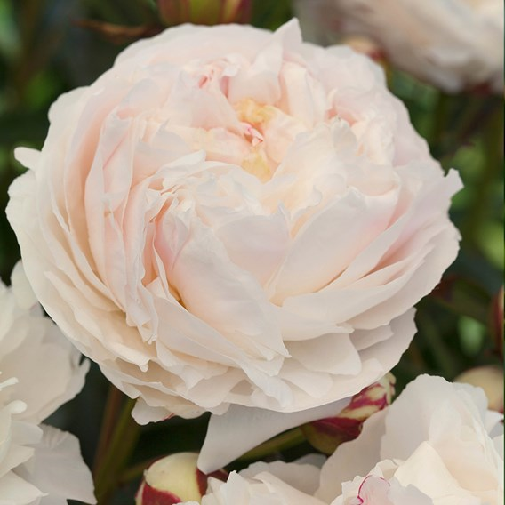Peony Plant - Shirley Temple 1 bare root