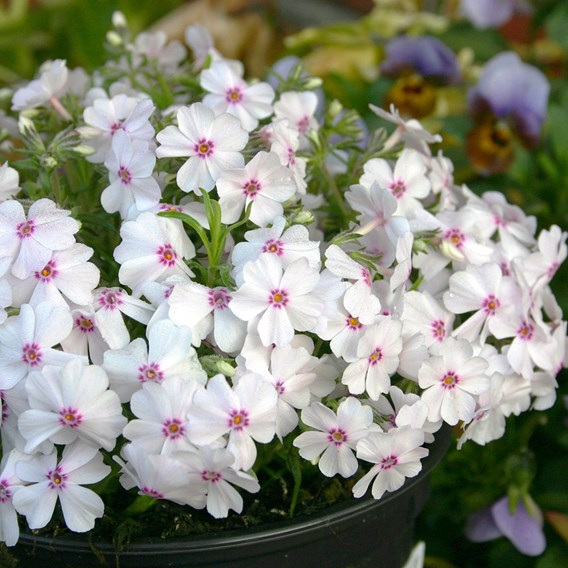 Phlox Creeping Plants - Collection