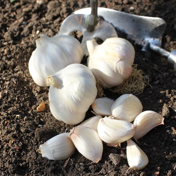 Garlic Bulbs - Carcossonne Wight