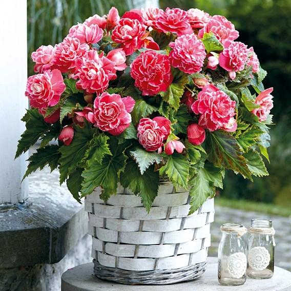 Begonia Bulbs - Camelia