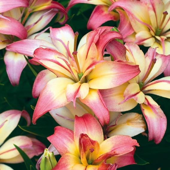 Lily Delicate Joy 5 Bulbs