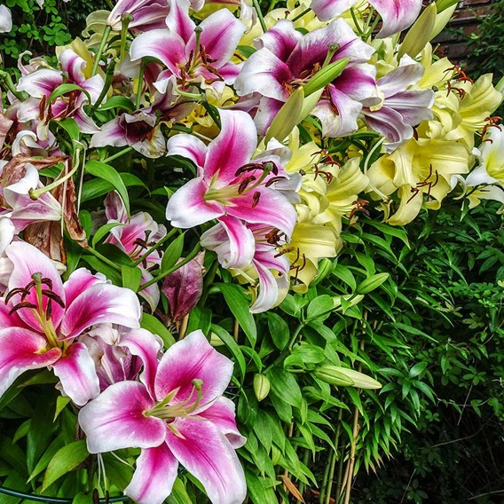 Lily Oriental - The Perfume Garden