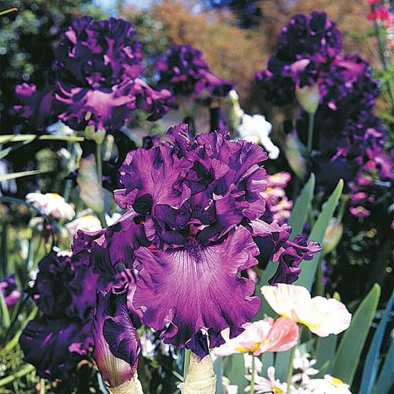 Iris Cantina  (Re-Blooming)