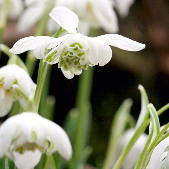 Galanthus (Snowdrop) Double Flowered 25 Bulb In The Green