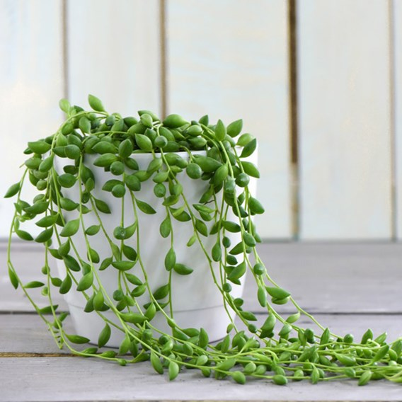 Senecio String of Teardrops 11cm Pot x 1