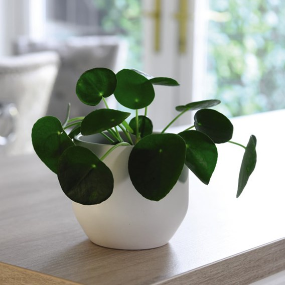 Pilea Peperomioides (Chinese Money Plant) 11cm Pot