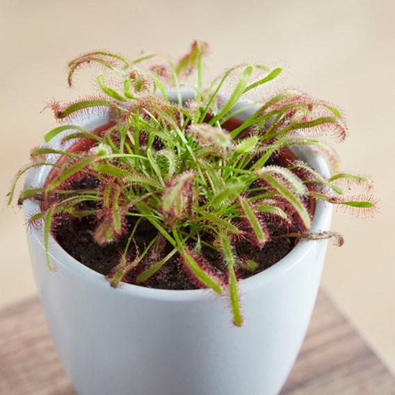 Drosera (Capensis) 9cm Pot x 1