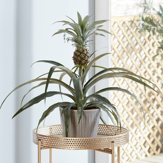 Houseplant Edible Pineapple 14cm Pot x 1