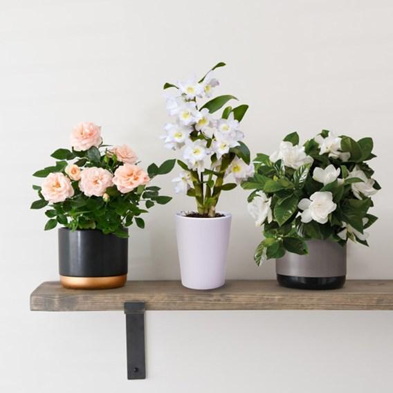 Rose Hybrid Classic Miniature 10.5cm Pot x 1