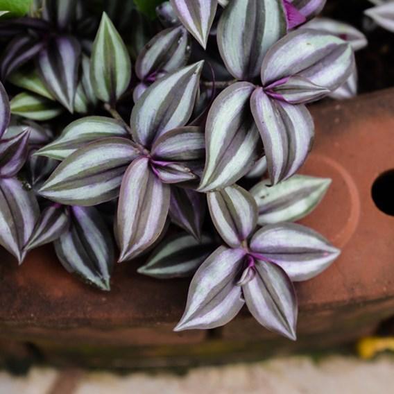 Tradescantia Zebrina 12cm Pot x 1