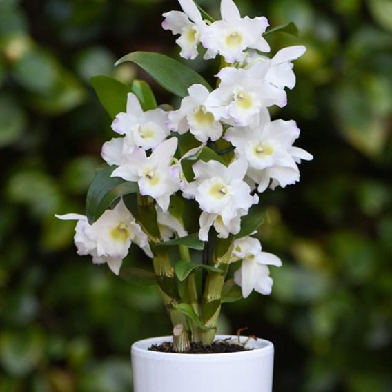 Orchid Star Class Apollon in Ceramic 9cm Pot x 1