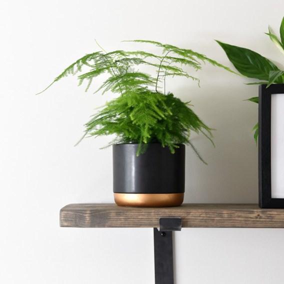 Asparagus Fern Plumosus 13cm Pot x 1