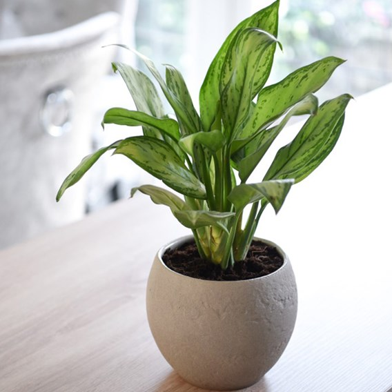 Aglaonema Christina (Chinese Evergreen) 12cm Pot x 1