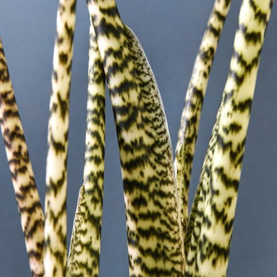 Alocasia Zebrina 17cm Pot x 1