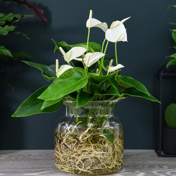Anthurium Aqua White in Sierglass 14cm Pot x 1