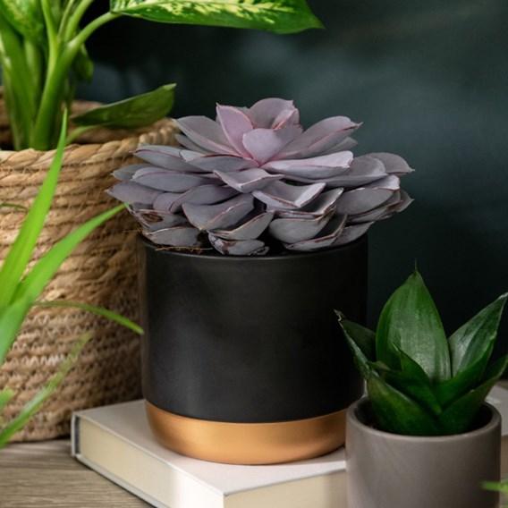 Echeveria Purple Pearl - Shine like a Pearl 12cm Pot x 1
