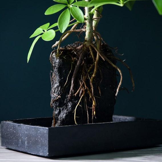 Lova Schefflera (Lava plant) On Wooden Tray x 1