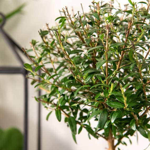 Myrtus communis on Stem 12cm Pot x 1