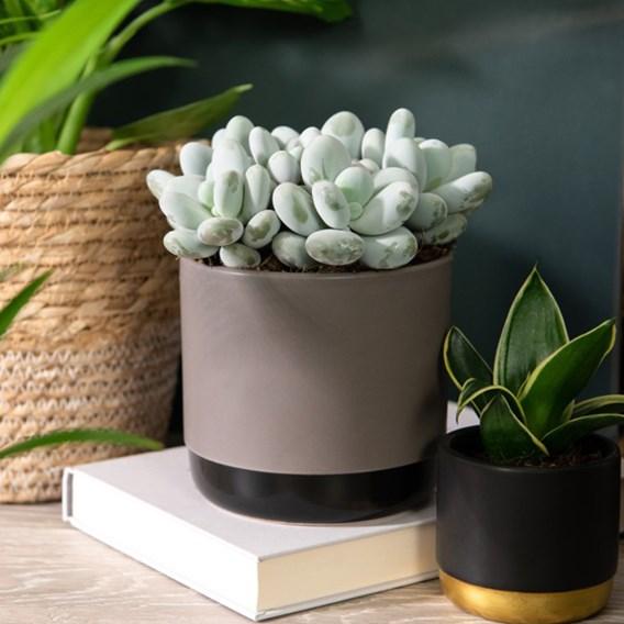 Pachyphytum Oviferum (Hard as Rock) 12cm Pot x 1