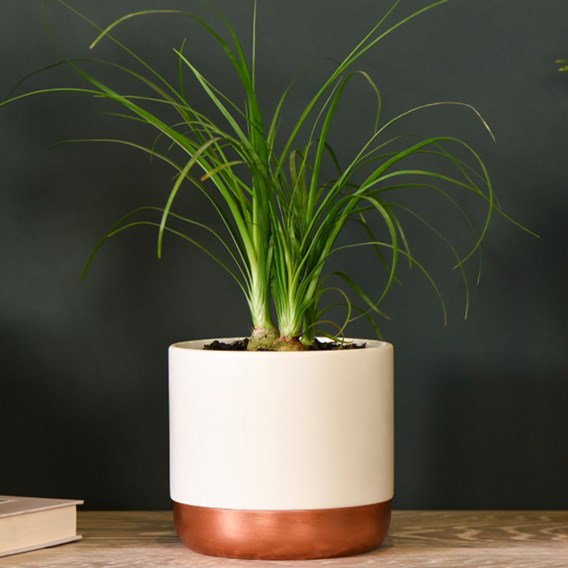 Beaucarnea recurvata 12cm Pot x 1
