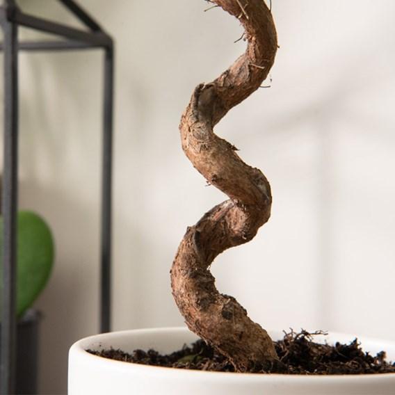 Myrtus communis on Spiral Stem 12cm Pot x 1