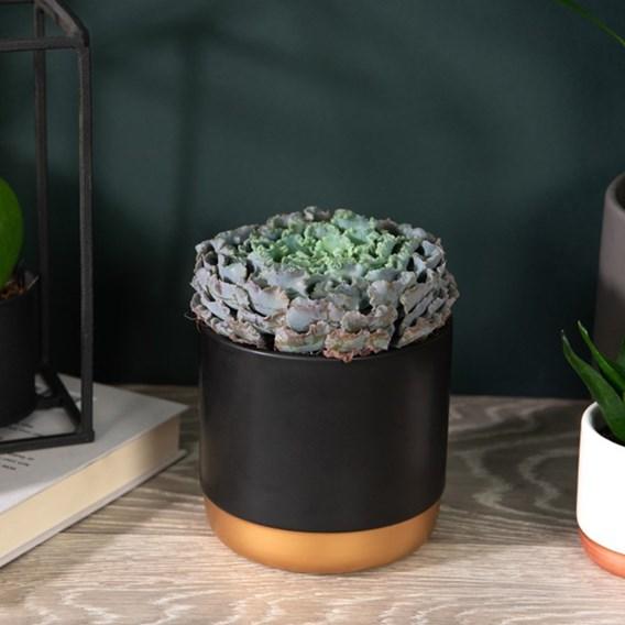 Echeveria Curly Pearl 12cm Pot x 1