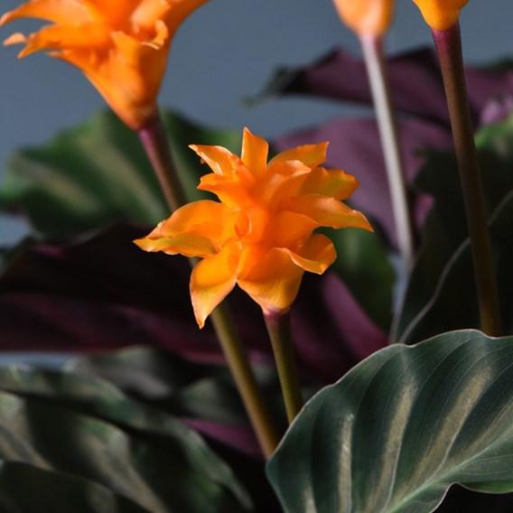 Calathea crocata 5-6 flower 14cm Pot x 1