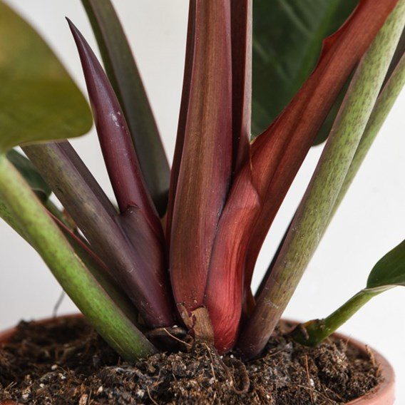 Philodendron Imperial Red 17cm Pot x1