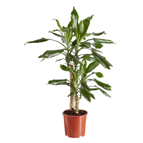 Dracaena (Dragon Tree) fragrans 17cm Pot x 1