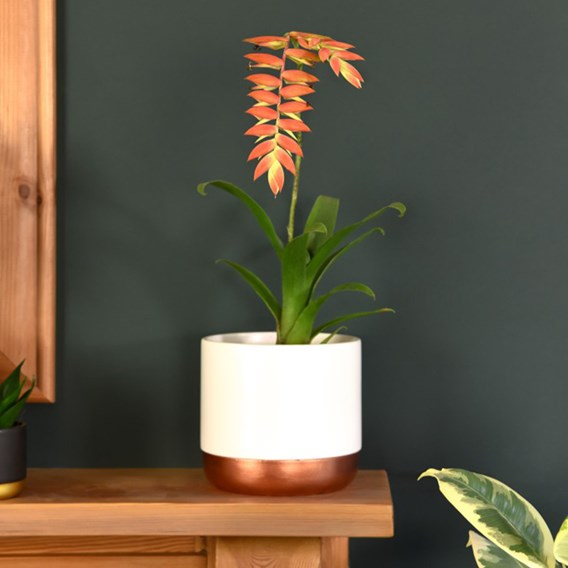 Tillandsia Dyeriana Cancun Orange 9cm Pot x 1