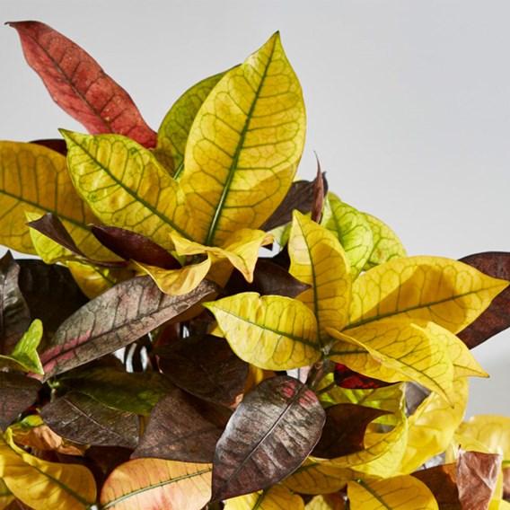 Codiaeum Variegatum Var. Pictum Mrs Iceton 21cm Pot