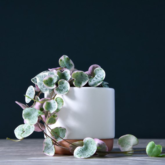 String of Hearts Variegated 8cm Pot x 1