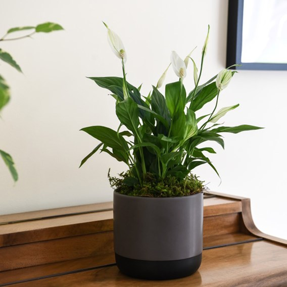 Spathiphyllum (Peace Lily) Torelli Air So Pure