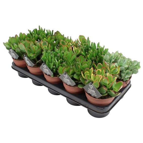 Crassula Succulents Mix