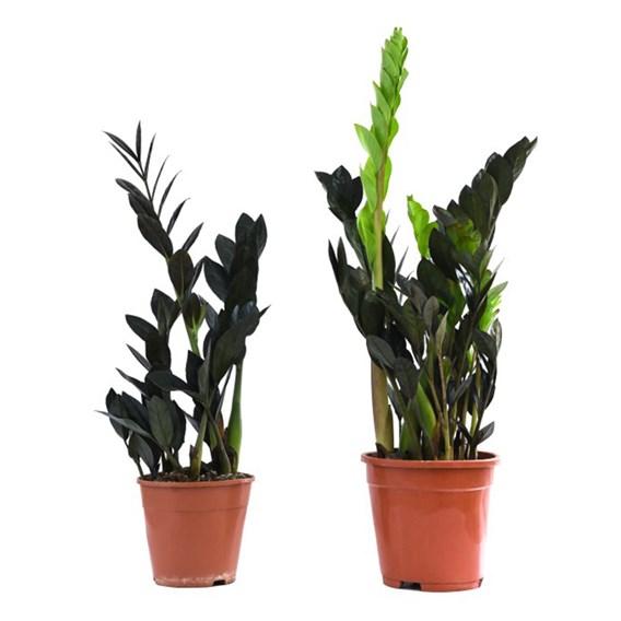 Zamioculcas Zamiifolia