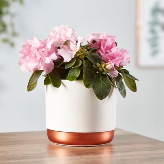 Azalea indoor Pink 9cm Pot x 1